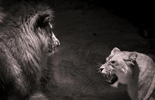 angry lion (tomconger)